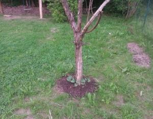 Bohnenbaum
